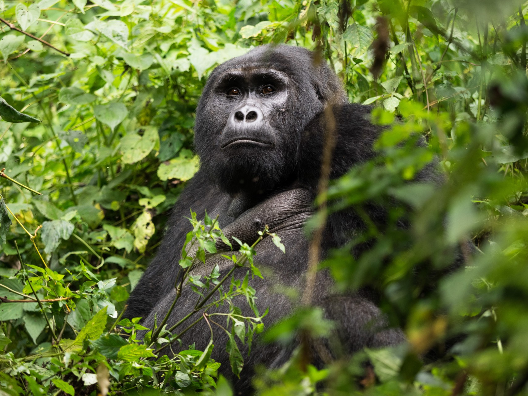 Berggorilla Uganda