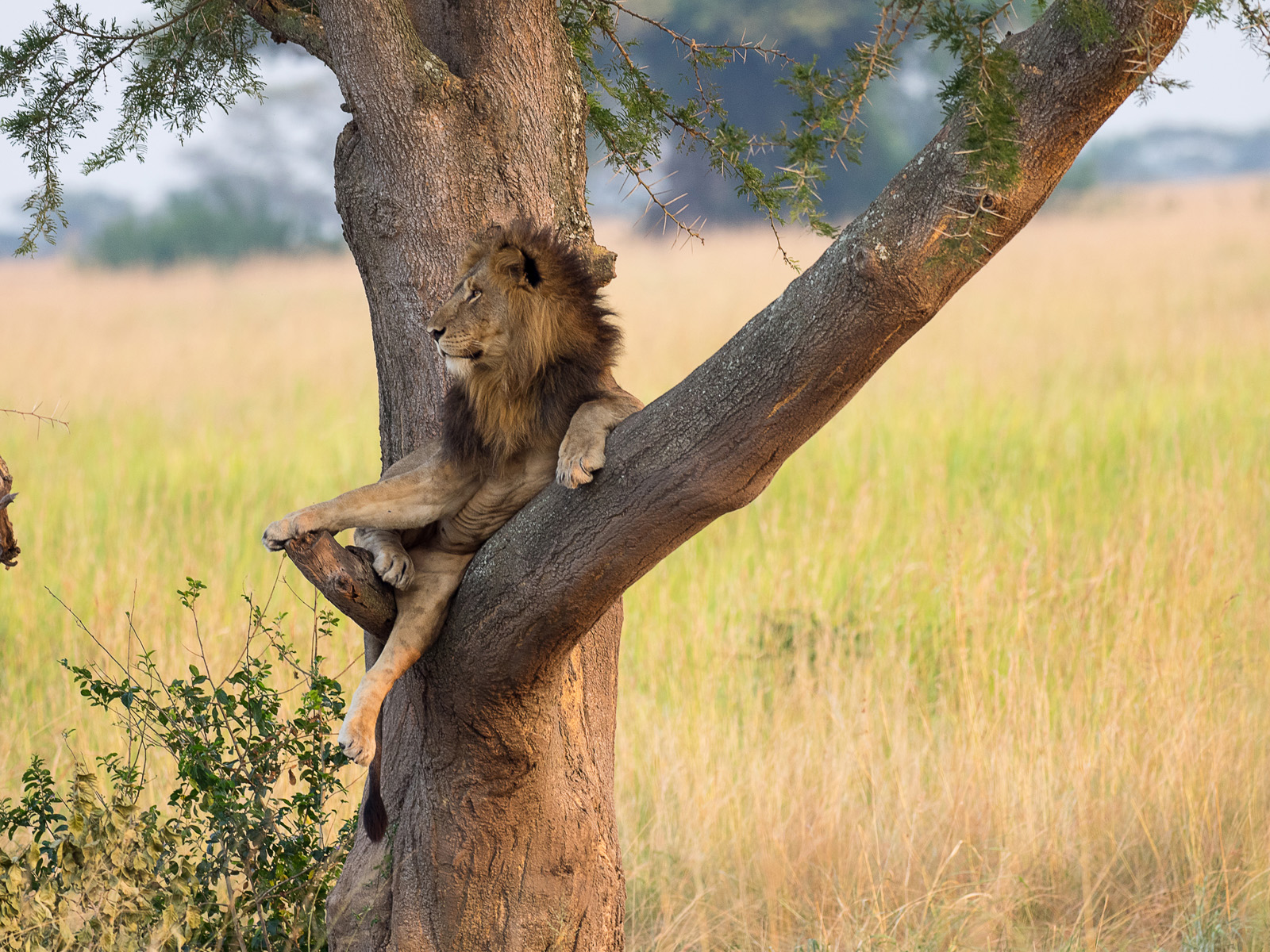 Uganda-Löwe